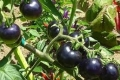 قريباً في الأسواق: طماطم سوداء لمحاربة السكري والسمنة