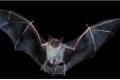 """لماذا تحمل كل هذه الفيروسات؟... ما لا تعرفه عن الخفافيش المتهمة بالتسبب في ظهور """"كورونا"""""""