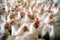 إرتفاع سعر الدجاج بـ 90%