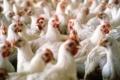 متى ستعود أسعار الدجاج لوضعها الطبيعي؟