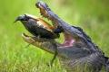 سلحفاة تتفوق على تمساح بقوة قوقعتها الخارجية