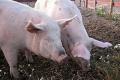 لماذا الخنزير هو الحيوان الوحيد الذي لا يستطيع النظر الى السماء؟