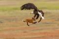 بالصور : مشهد مذهل.. نسر يخطف أرنبا من قبضة ثعلب