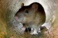 كيف نجحت هذه المدن في القضاء تماما على الفئران؟