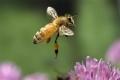 الهذا الحد!!!.. هل ستهلك البشرية بعد أربعة سنوات فقط من إنقراض النحل؟؟