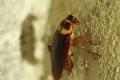 كم تستطيع الصراصير العيش دون رأس؟