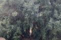 بالصور: أقدم شجرة زيتون بالعالم زيتونة فلسطينية في الضفة وتعود الى ما قبل سيدنا ...