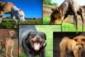 شاهد الصور... أشرس 10 سلالات كلاب في العالم