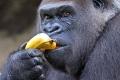 """بالصور.. غوريلا غاضبة من عدم احتواء قائمة الطعام على """"موز""""!"""