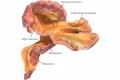 إكتشاف عضو جديد في جسم الإنسان