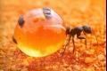 عجيبة من عجائب المخلوقات... قدور العسل يحاكي النمل تماماً كالنحل... شاهد الصور والفيديو