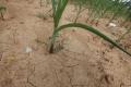خسائر ضخمة في المحاصيل الأميركية بسبب الجفاف