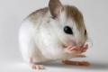 ذكور الفئران تغني!
