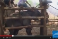 بالفيديو: تعذيب الفيلة في تايلاند لإستغلالها في السياحة