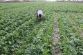 الضربات من جميع الاتجاهات على مزارعي غزة وآخرها رش إسرائيل لمبيدات كيميائية تقضي على محاصيلهم ...