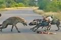بالفيديو  معركة بين الكلاب البرية وضبعين مرقطين.. فمن سيفوز؟