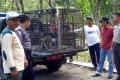 القردة البرية تغزو مقاطعة وسط إندونيسيا