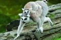 الليمور يواجه خطر الإنقراض