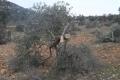 مع بداية العام الحالي تصعيد إسرائيلي كبير في العدوان على الزيتون الفلسطيني