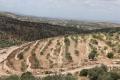 الأخوان شلاميش: الصخور والأشواك تُزهر زيتونًا وعنبًا!