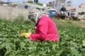 خيار جنين الصعب! عوامل مناخية وتسويقية تهدد محصول الخيار في جنين والمزارعون هم الضحية
