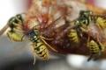 لما نكره الدبابير ونحب النحل؟