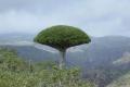 مع إزدياد الطلب عليها عالمياً.. شجرة البخور الى انقراض