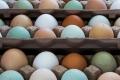 بيض دجاج أبيض وبني وأخضر؛ ما الفرق بينها؟