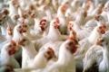 هل يصل سعر كيلو الدجاج لـ 35 شيقلا؟