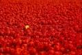 أزهار التيوليب : عالم من الجمال والأناقة