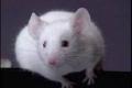 هل حقا الفئران تحب الجبنة؟