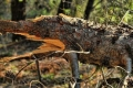 مصور يوناني يلتقط صوره نادرة لشجرة على شكل تمساح يفتح فمه على مصراعيه