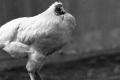 هل حقًا يُمكن أن يعيش الدجاج بدون رأس؟!