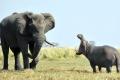 معركة غير متكافئة بين فرس النهر والفيل