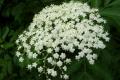 فوائد سحرية وعجيبة لنبات البيلسان ..قد تساعد مرضى كورونا!