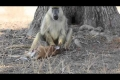 """بالفيديو.. القرد دراكولا يأكل """"ظبى"""""""