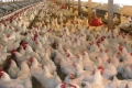 تطورات هامة في قضية أسعار الدجاج الجنوني