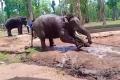 فيل يصارع قيوده ويفارق الحياة