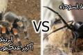 بالصور: ماذا يحدث عندما تتواجه الأرملة السوداء ضد أكبر عنكبوت في العالم!