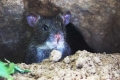 لماذا يجب قتل الفئران حول العالم؟