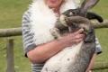 رالف... يستعيد لقبه كأضخم أرنب في العالم!