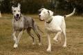 شاهد... كلب مبصر يرعى كلباً أعمى!