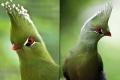 صور رائعة لطائر التوراكو.. طائر مدهش يمتلك (على ما يبدو) مصفف شعر خاص!
