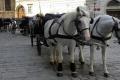 موجة الحر في فيينا تمنح الجياد السياحية عطلة أسبوعية