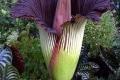 اكبر زهرة في العالم صاحبة الرائحة النتنة ازهرت في البرازيل