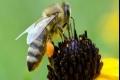 الدنج التى يصنعها النحل مضاد حيوى طبيعى لفيروس الأنفلوانزا والهربس