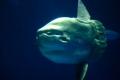 بالصور والفيديو: صيادون غزيون يصطادون المولا مولا أثقل الأسماك العظمية حجماً