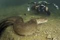 شجاعة أم جنون؟! .. مصور يسبح مع الأناكوندا القاتل ليلتقط صوراً له!