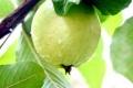 فاكهة الفقراء الهنود ... التفاح الاستوائي يغزو الأسواق الفلسطينية و70 الف شجرة في قلقيلية لوحدها