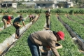 الزراعة الفلسطينية ما بين الإنتاج والاستهلاك